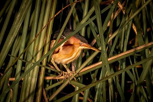 nature outdoor animal bird wildlife least bittern male rich grissom memorial wetlands viera florida fl placeholder photo