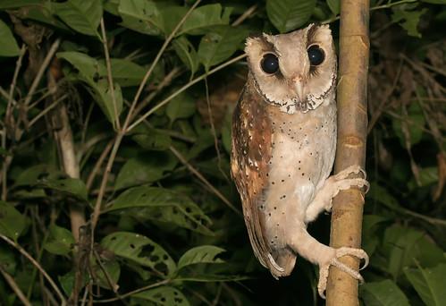 Oriental bay owl - Maskeneule - Phodilus badius