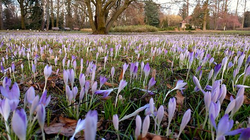 Crocus field | by VicunaR