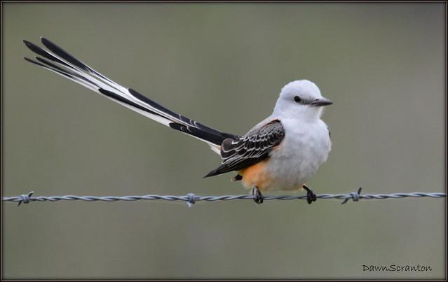 DSC_4141  Scissor-tailed Flycatcher