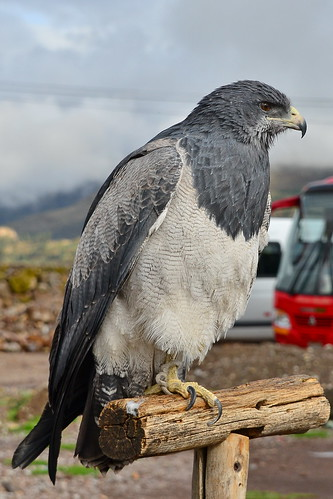 Агуйя, Geranoaetus melanoleucus australis, Black-chested Buzzard-Eagle | by Oleg Nomad