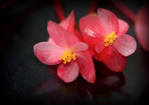 Begonia albo-maculata (12) | by Neira Magic'B