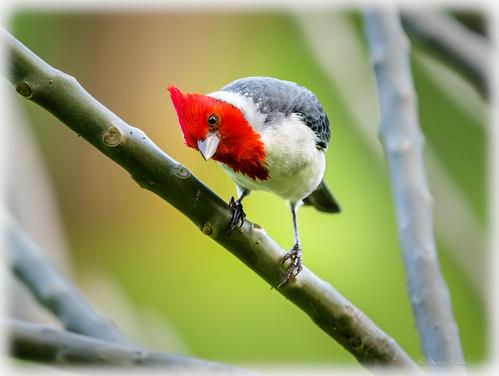 birds cardinals redcrestedcardinal maleredcrestedcardinal colorful birdsofthetropics tropicalbirds songbirds