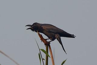 Большеклювая ворона, Corvus macrorhynchos tibetosinensis, Large-billed Crow | by Oleg Nomad