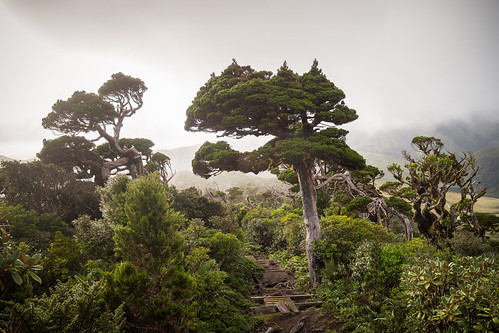 ahukawakawatrack mountegmont mounttaranaki newzealand newzealandnativebush newzealandnativeforest northisland pouakairange taranaki cloud fog forest landscape mist stuntedvegetation trail tree egmontnationalpark nz