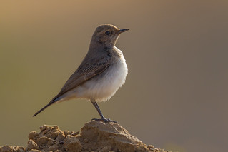 Red-tailed Wheatear | Oenanthe chrysopygia | by Paul B Jones