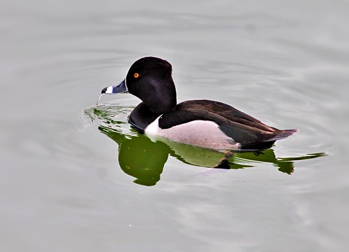 Ring-necked duck | by Monkeystyle3000