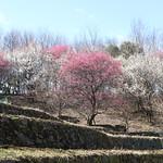 Forest of Japanese Plum Blossom