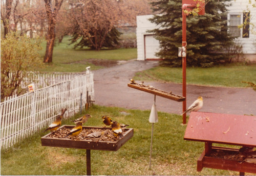 Evening Grosbeaks in my yard, May 18, 1982