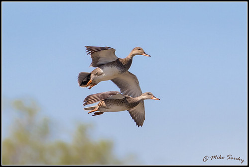 17-2887_pair_of_gadwall_dropping_in_fs - Copy | by michaelsorsky