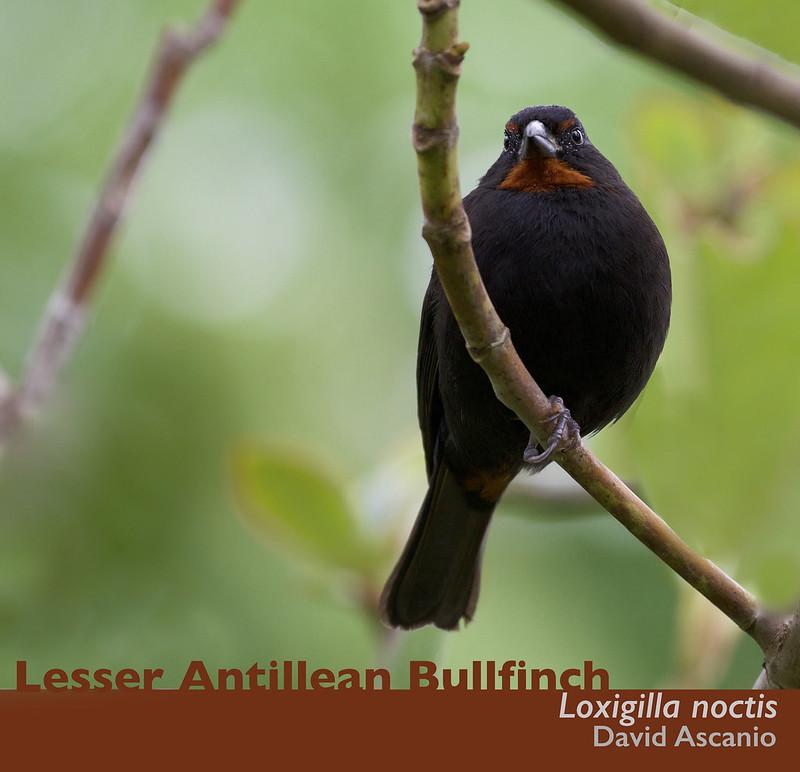 Lesser Antillean Bullfinch, Loxigilla noctis_Dominica_199A9860