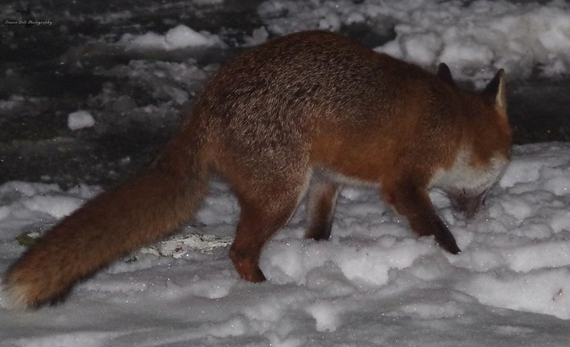 Urban wild red fox in the snow  (10)