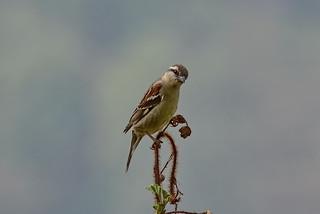 Рыжий воробей, Passer cinnamomeus cinnamomeus, Russet Sparrow | by Oleg Nomad