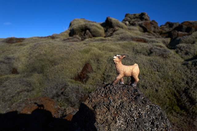 baby goat scampers up the rocks in the lava field