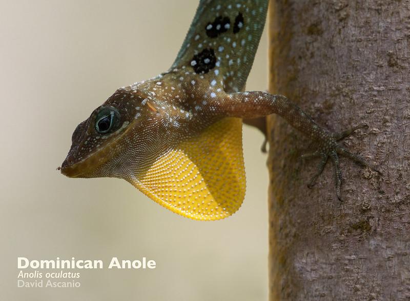 Dominican Anole, Anole oculatus_Dominica_199A9961