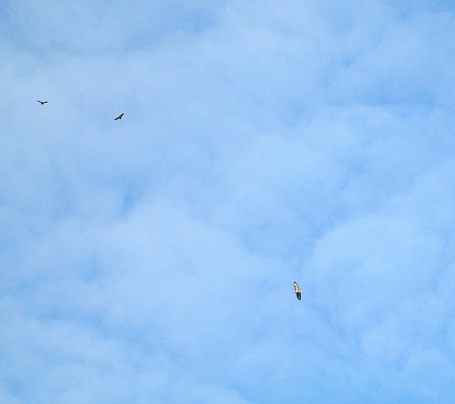 3 Buzzards