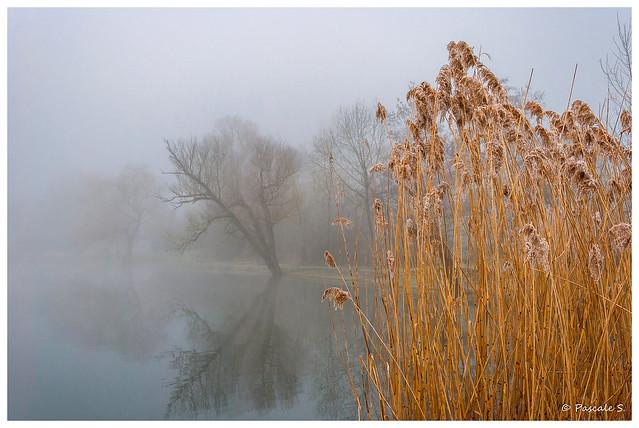Roseaux dans la brume