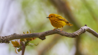 Yellow Warbler | by humanaaut
