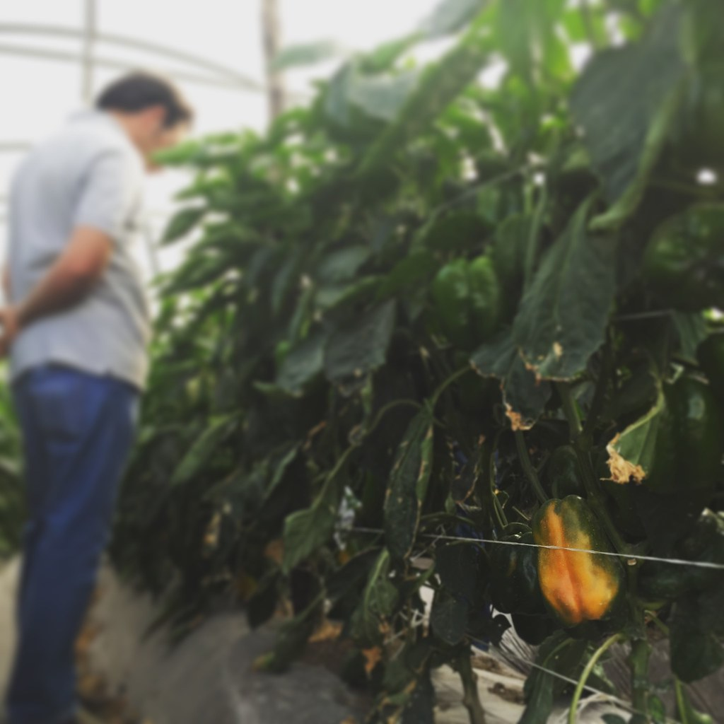 Orticoltura e Valore - prove in campo Peperone 2015 - 2087