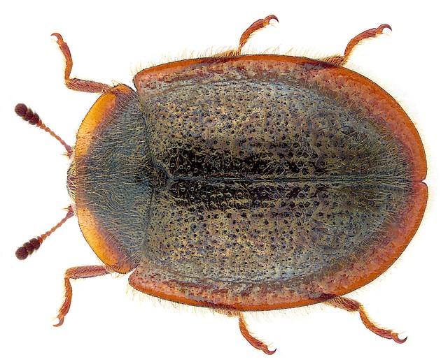 Thymalus limbatus (Fabricius, 1787)