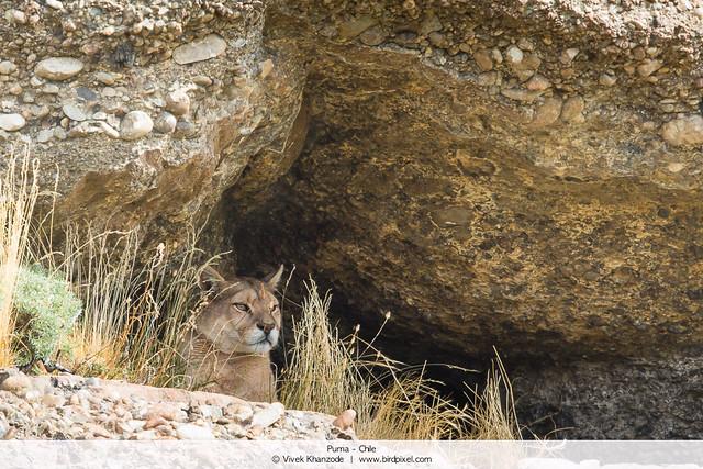 Puma - Chile