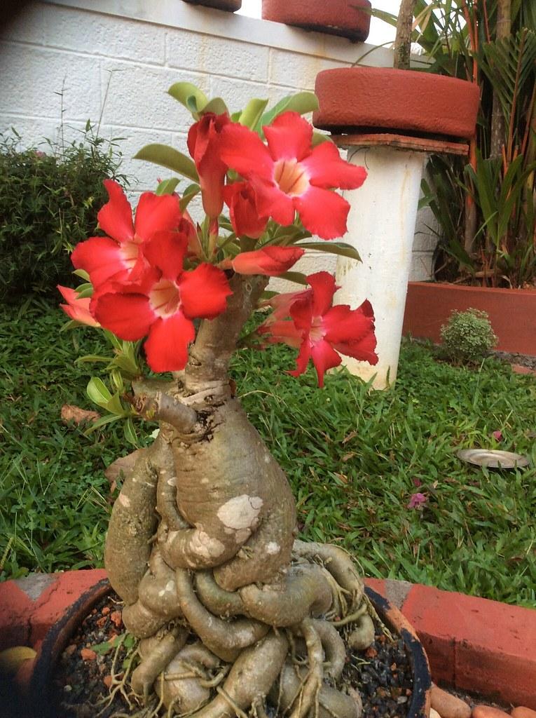 Adenium bonsai 18 years old -