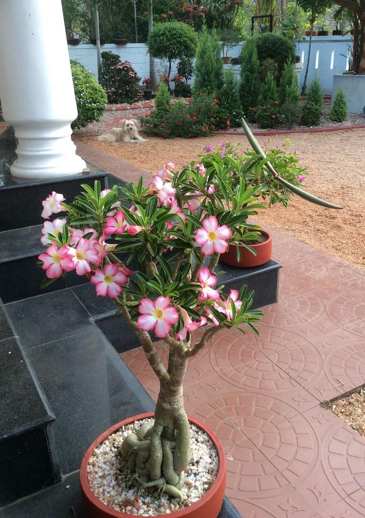 Pink Adenium bonsai 10years old -