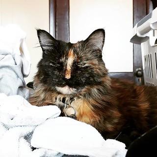 Still life with cat and socks #catsofinstagram #catsthatlounge #catsonlaundry #helping #tortie #tortiesofinstagram #cat #tortoiseshellcat