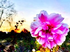 San Jose Rose