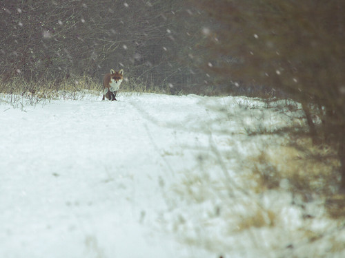 fox nikon d7200 55300mm nikkor vulpes hitchin hertfordshire england winter cold snowing path march beast from east 7dwf dusk rider