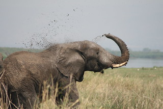 Elephant mud shower