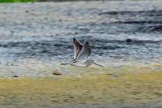Короткоклювый американский бекасовидный веретенник, Limnodromus griseus caurinus, Short- billed Dowitcher | by Oleg Nomad