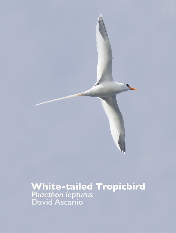 White-tailed Tropicbird, Phaethon lepturus_199A9127