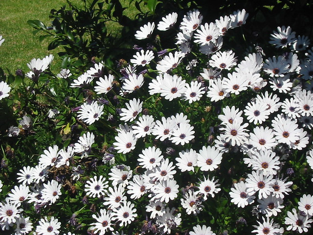 White Daisies blooming in Our Garden
