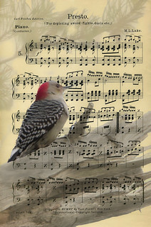 A woodpecker's sheet music | by Rifa21