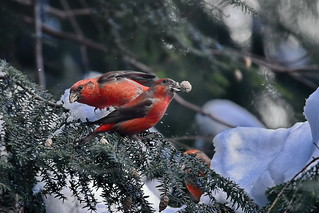 Клёст-еловик, Loxia curvirostra, Common Crossbill | by Oleg Nomad