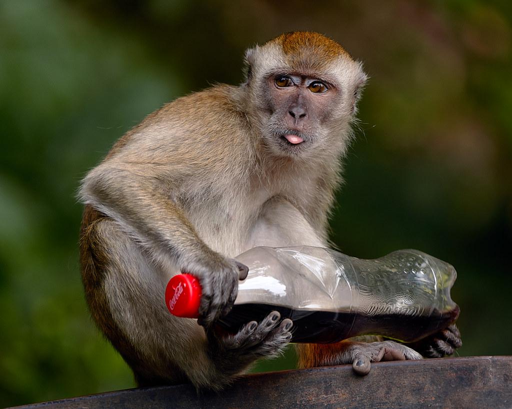 Monkey with a Coke bottle