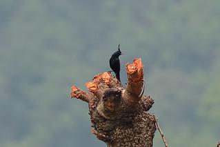 Хохлатая овсянка, Melophus lathami, Crested Bunting   by Oleg Nomad