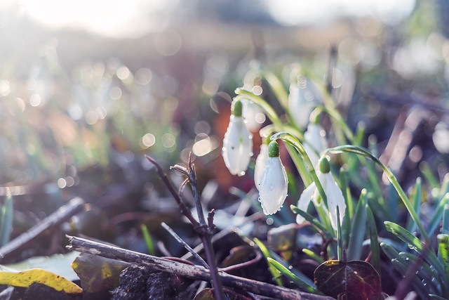 Snowdrops in spring sunset...