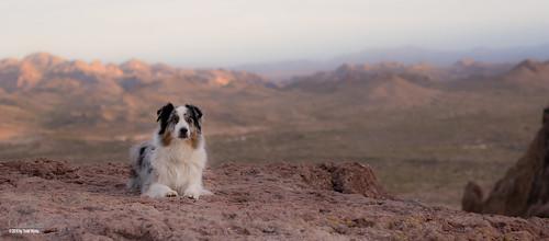 aussie australianshepherd dog desert lostdutchmanstatepark