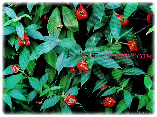 Psychotria elata is a small tree that rarely exceed 3 m tall | by jayjayc