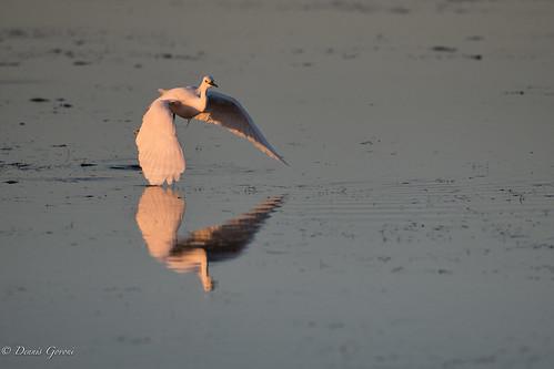 merrittisland action background bird egret florida snowyegret sunrise water wildlife unitedstates us
