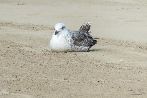 En la playa. Gaviotas