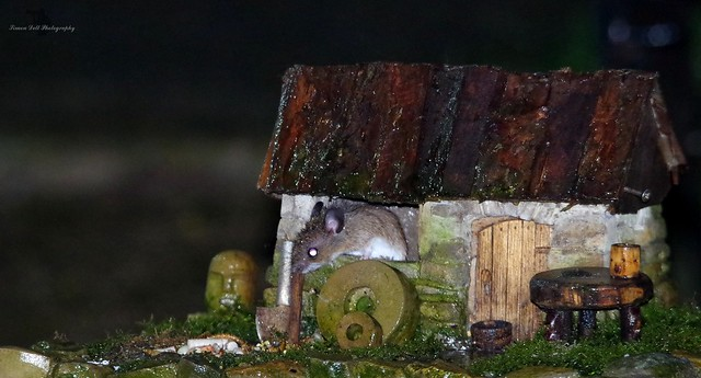 wood mouse inside little house mar 2018  (3)
