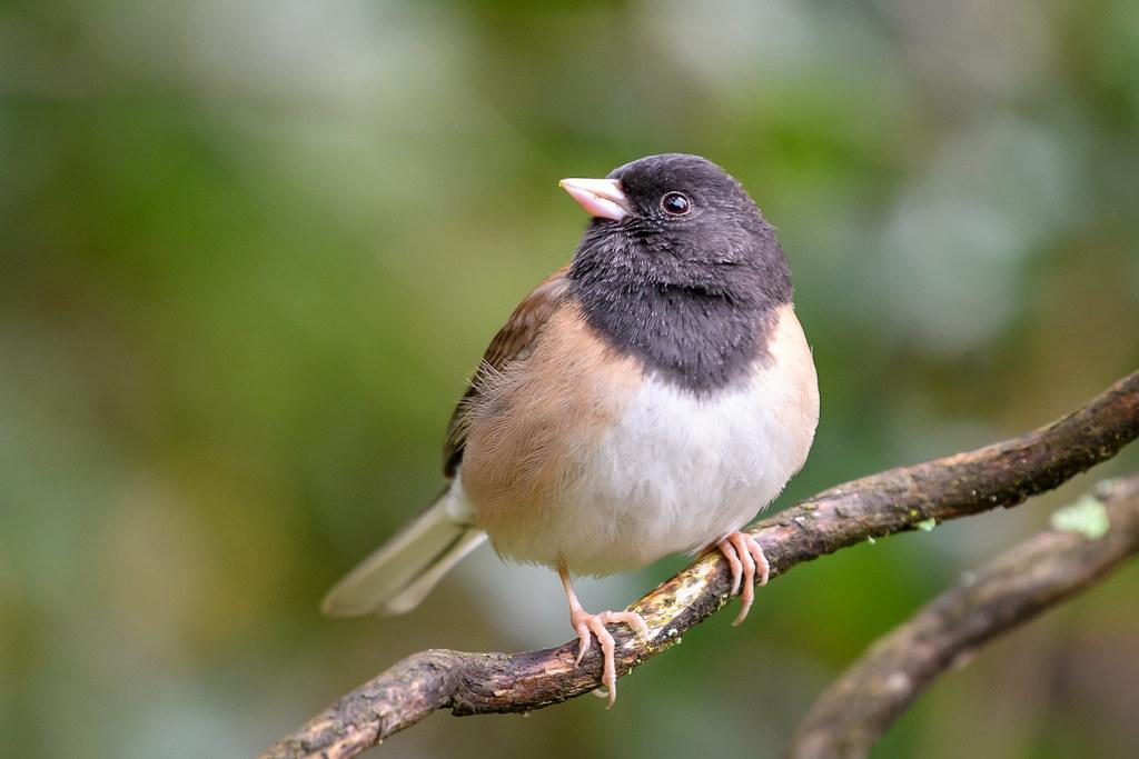 常見鳥類暗眼燈草鵐。照片來源:Becky Matsubara(CC BY 2.0)