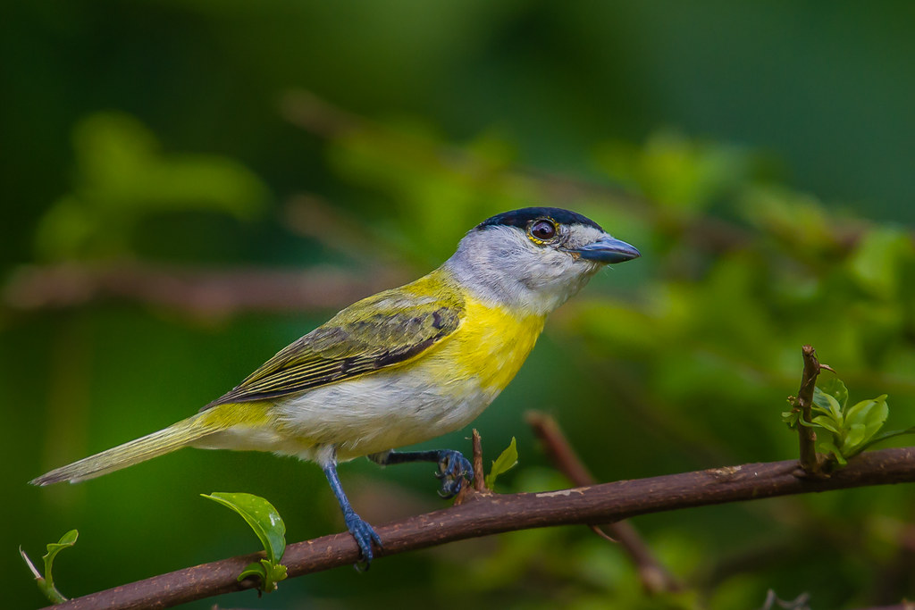 Green-backed Becard - Brazilian Birds - Species # 240