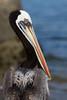 Pelicano Pardo - Pelecanus thagus - Peruvian Pelican by Jorge Schlemmer
