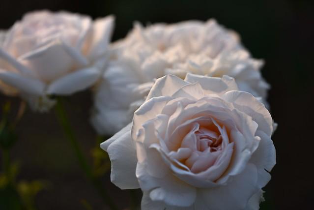 Rose 'Gruss an Aachen' raised in Germany
