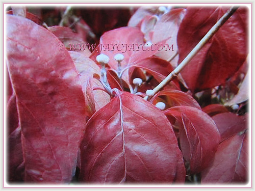 Pink leaves of Cornus florida in summer | by jayjayc