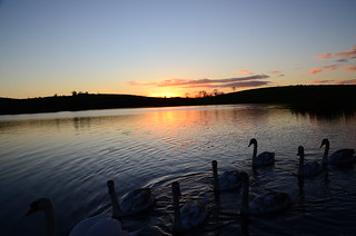 THE SWANS ARE HEADING FOR BED  JUST LIKE THE SUN